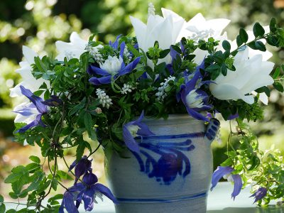 Clematis alpina Frances Rivis und Tulpe White Triumphator