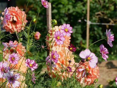 Cosmos bipinnatus 'Psyche Rose Picotee' und Dahlia 'Ace Summer Sunset'