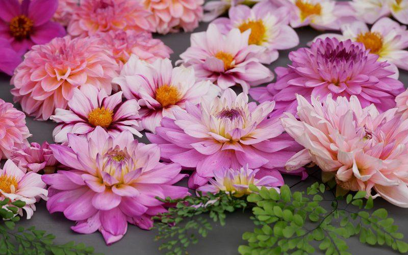 Dahlien farbenfrohe Sommerblüher
