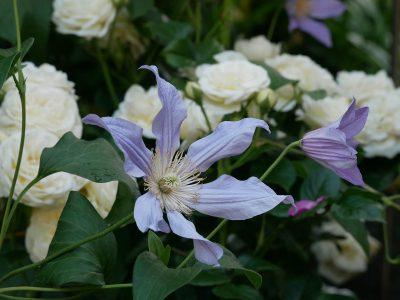Clematis 'Blue River' mit Rose 'Artemis'