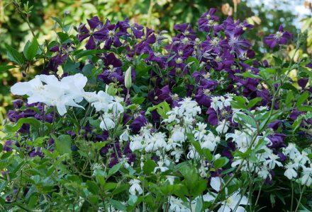 Clematis viticella 'Etoile Violette', Clematis 'John Huxtable', Clematis recta 'Pamela'
