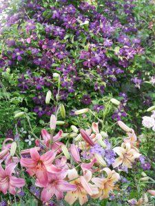 Clematis Etoile Violette im Juli mit den Lilien Pink Flight und Salmon Flavour