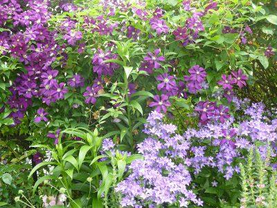 Clematis viticella 'Etoile Violette' und Campanula lactiflora 'Superba'