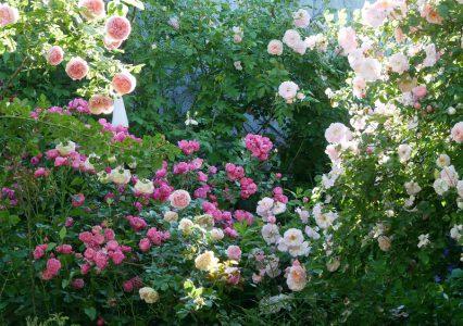 Edenrose, Rose 'Angela' und 'Fritz Nobis'
