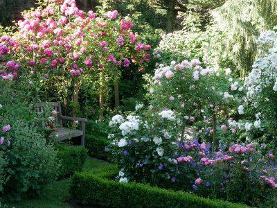 Gartenbank mit Rose 'Laguna'