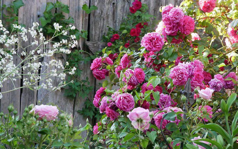 Rose Laguna mit Crambe cordifolia
