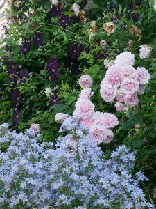 Rose 'Sweet Laguna', Clematis 'Etoile Violette und Campanula lactiflora