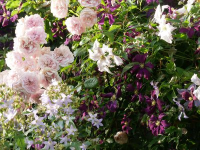Rose 'Sweet Laguna', Clematis viticella 'Etoile Violette' und 'Entel', Campanula lactiflora