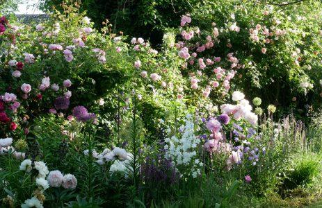 Rose Sweet Laguna, Laguna, Constance Spry, Paeonien