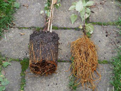 Clematis wurzelnackt pflanzen