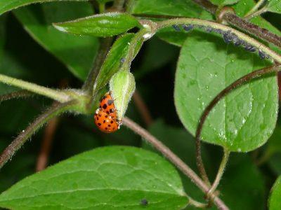 Marienkäfer und Blattläuse an Clematis