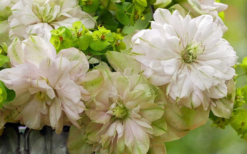 Clematis Innocent Blush in einem Strauß mit Euphorbia amygdaloides