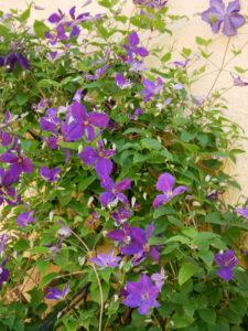 Clematis Jackmanii Schaden durch Blütenthripse