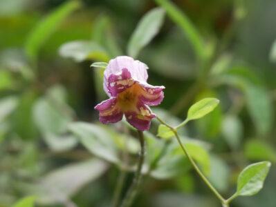 Clematis viorna 'Retrousse', Fraßschaden durch Blütenthrips