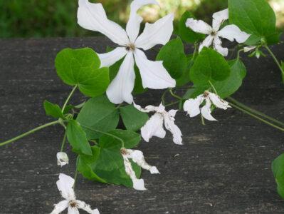 Clematisfliege Fraßschäden an den Blüten