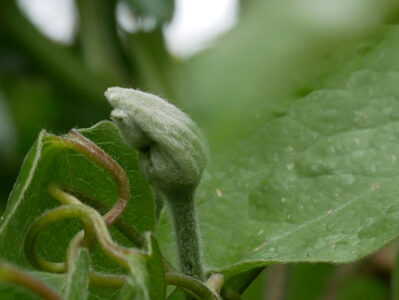 Einstichstelle des Thrips an der Knospe einer Clematis-Hybride