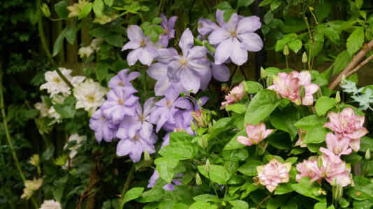 Clematis Mrs Cholmondeley, Innocent Glance und Innocent Blush