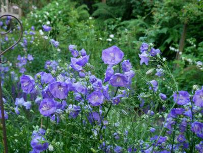 Campanula persicifolia Blue Bloomers