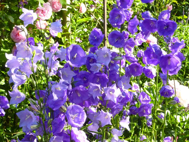 Campanula persicifolia Blue Bloomers im Vergleich zur geläufigeren Campanula persicifolia