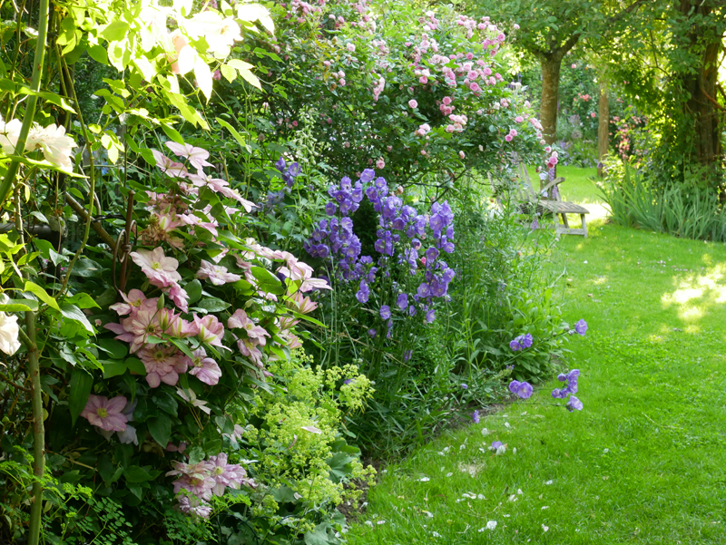 Clematis Innocent Glance, Campanula persicifolia Blue Bloomers und die Ramblerrose Frau Eva Schubert