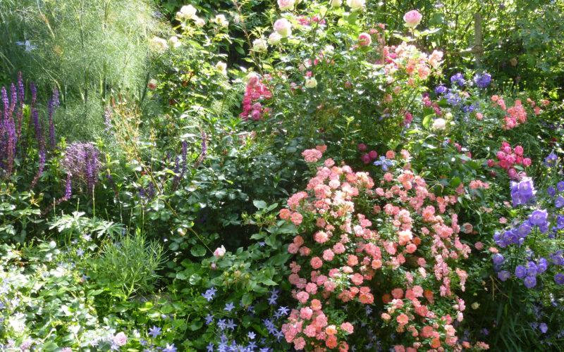 Rose Ferdy in Kombination mit anderen Rosen und Stauden