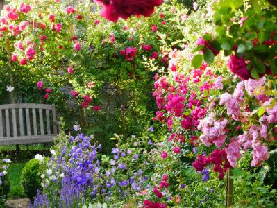 Campanula persicifolia Blue Bloomers als Rosenbegleitpflanze