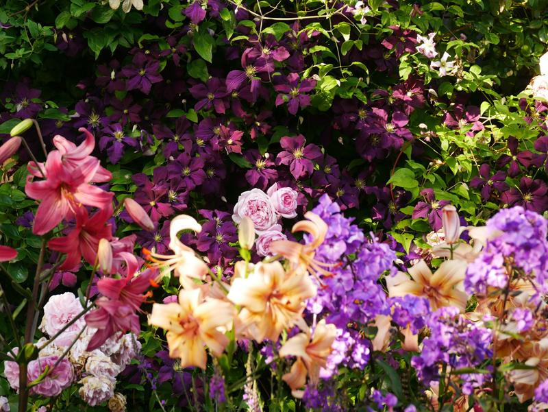 Lilie Salmon Flavour und Pink Flight, Phlox Blue Paradise, Clematis Etoile Violette