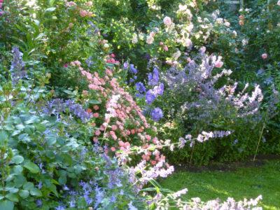 Rose Ferdy in Kombination mit Katzenminze und Glockenblumen