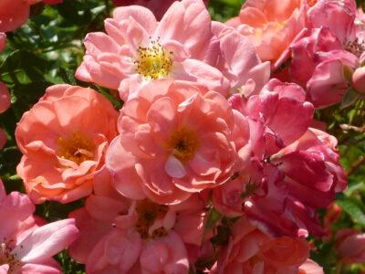 halbgefüllte Blüten der Rose Ferdy