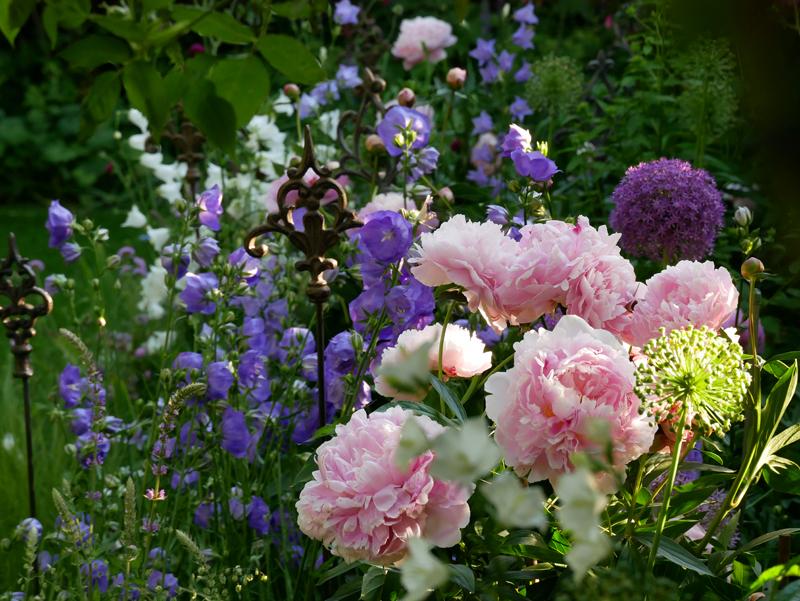 Campanula persicifolia Blue Bloomers mit der Päonie Sarah Bernhardt und Allium Ambassador