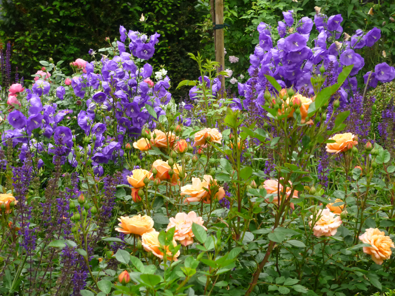 Rose Apricot Clementine und Campanula Blue Bloomers