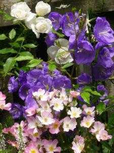 Campanula persicifolia Blue Bloomers, Rose Ballerina, Rose Schneewittchen