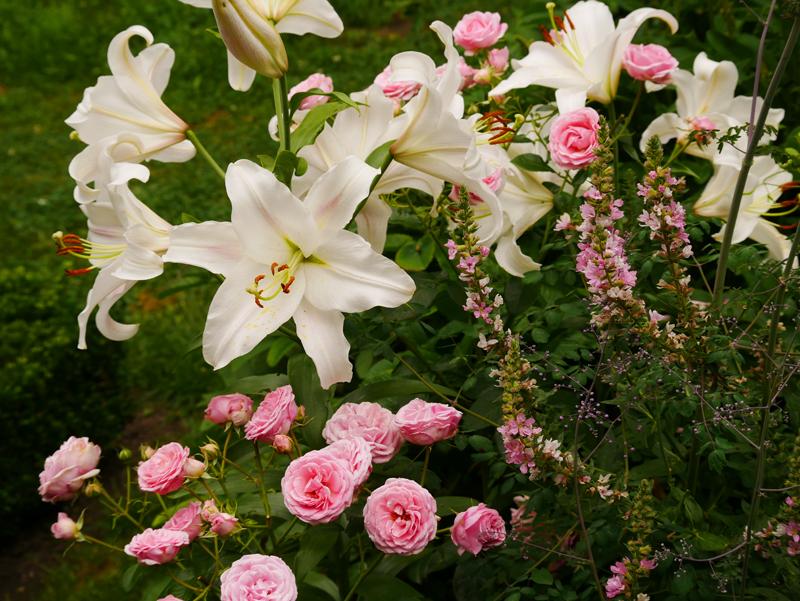 Rose Crescendo, weiße Lilie, Lythrum Blush