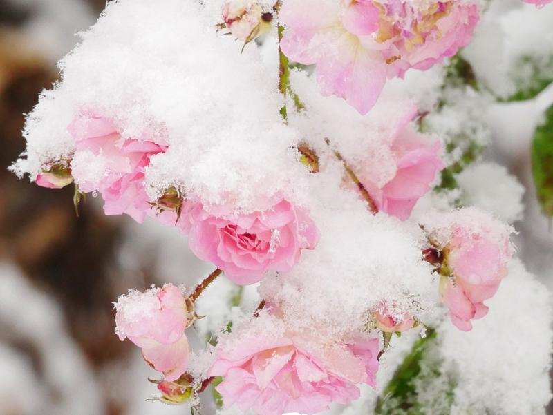Rose Frau Eva Schubert im Schnee