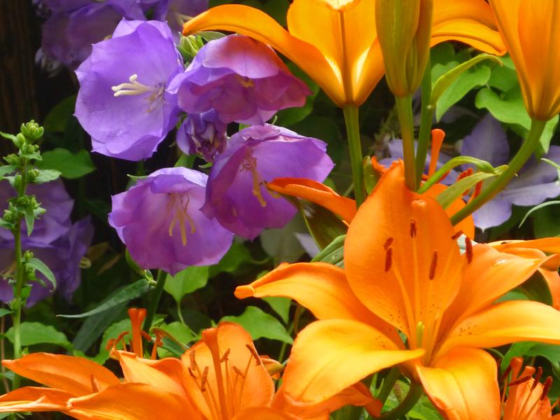 asiatische Lilie Blazing Dwarf + Campanula Blue Bloomers