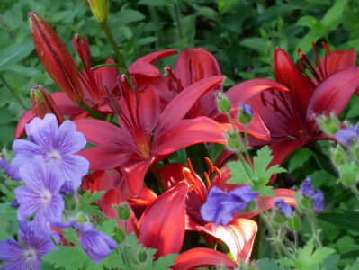 Lilium AS Cavoli, Geranium Rosemoor