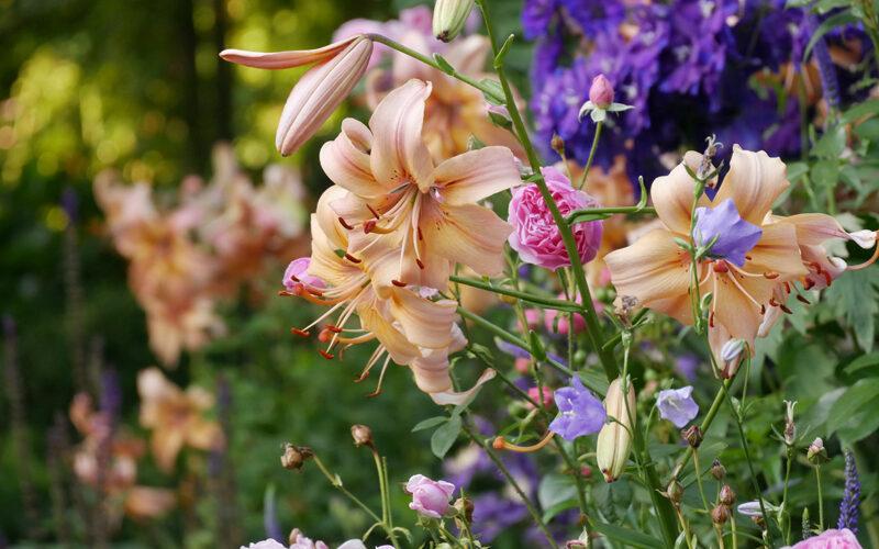 Rose Harlow Carr, Lilium Salmon Flavour, Delphinium
