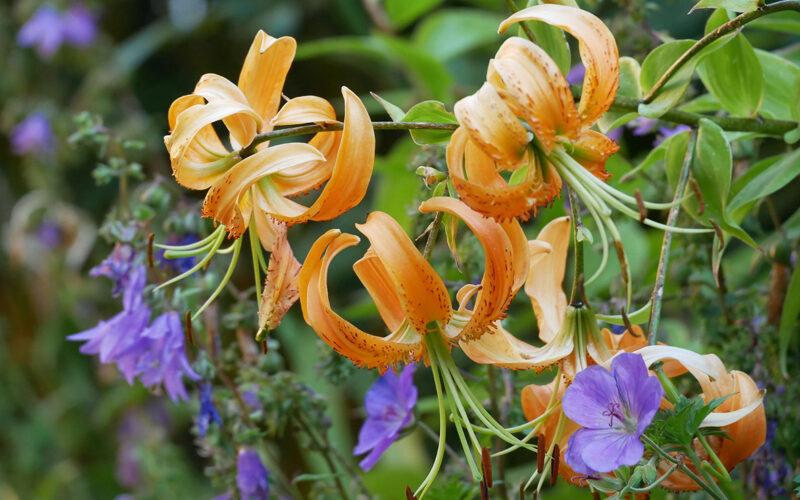 Tigerlilie mit Papillen
