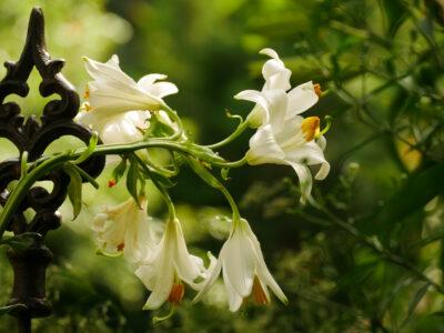 Lilium candidum Madonnenlilie