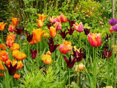 Tulipa Sarah Raven, Amazing Parrot, Ballerina und Orange Princess