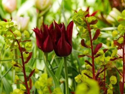 Tulpe Sarah Raven, Euphorbia amygdaloides Purpurea