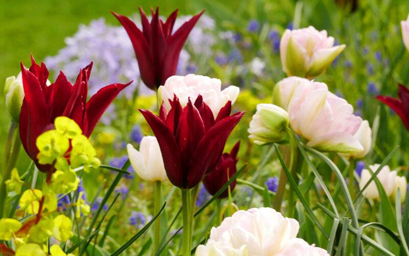 Tulipa Sarah Raven, Tulipa Angélique, Euphorbia amygdaloides Purpurea, Phlox divaricata Clouds of Perfume