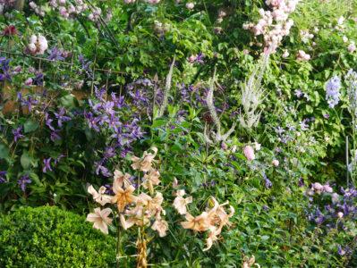 Clematis Miranda im Staudenbeet mit Veronicastrum Lavendelturm und Lilien