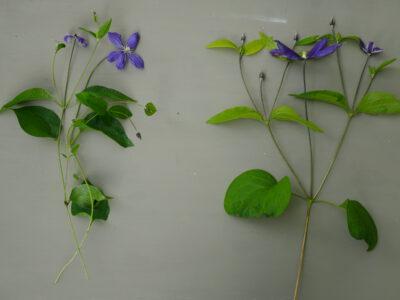 Vergleich Wuchsverhalten Clematis Arabella und Clematis Miranda